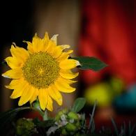 Mali glazbeni festival Park Orsula - suncokret